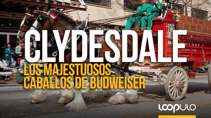 Los caballos Clydesdale, un emblema de Budweiser