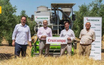 Proyecto Olivo: Cruzcampo recoge la cuarta cosecha de cebada cultivada entre olivos